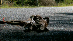 Roadkill, Decaying Dead Kangaroo on Road as Car Passes By Stock Footage