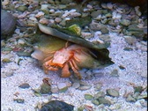 Stock Video Footage of Hermit Crab Sea Creature Conch Shell