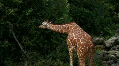 Giraffe eating leaves in field Stock Footage