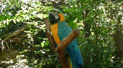 Blue and Orange MacCaw  in wooded area Stock Footage