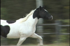 Pinto horse Stock Footage