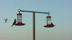 House Finches at Hummingbird Feeders Stock Footage