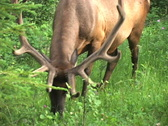 Stock Video Footage of Elk feeding