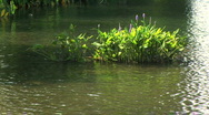 Lake flowers Stock Footage