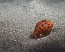 Time-lapse Marine Shell (D121) Stock Footage