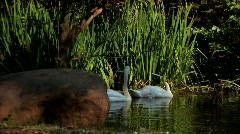 Two Trumpeter Swans  in lake Stock Footage