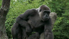 Gorilla sitting in a tree - stock footage
