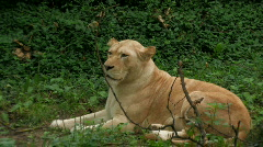 Lion relaxing in a wooded area Stock Footage
