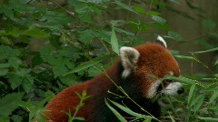 Endangered Red Panda eating leaves Stock Footage