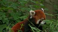 Endangered Red Panda eating leaves Stock Footage