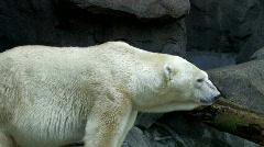 Endangered Polar bear - stock footage