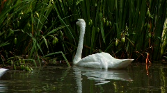 Trumpeter Swan swims in lake  Stock Footage