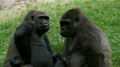 Gorillas kissing - stock footage