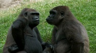 Gorillas kissing Stock Footage
