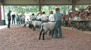 Stock Video Footage of Lamb Judging youth lineup rural fair competition M HD