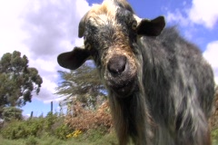African goat close up Stock Footage