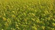 Field of rapeseed plants 2  Stock Footage