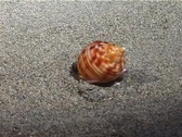 Marine Shell (part 2) Stock Footage
