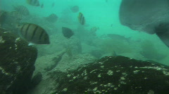 A Sea ray Swimming Underwater Stock Footage