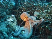 Stock Video Footage of Octopus part 2 (D069)
