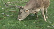 Stock Video Footage of Grazing cow