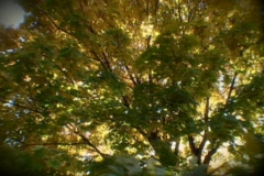 Yellow Tree and the sun - stock footage