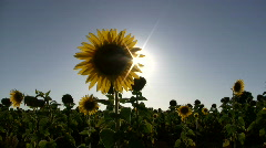 Sunflower and sun - stock footage