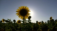 Stock Video Footage of Sunflower and sun