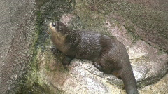 Otter. Stock Footage