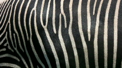 Zebra skin. - stock footage