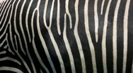 Stock Video Footage of Zebra skin.