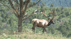 Elk walking through mountain meadow Colorado M HD Stock Footage