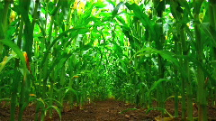 A field of maize Stock Footage
