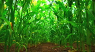 Stock Video Footage of A field of maize