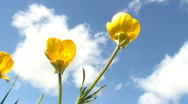 Yellow flowers against sky Stock Footage