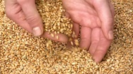 Stock Video Footage of Grain of wheat