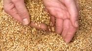 Grain of wheat Stock Footage
