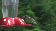 Stock Video Footage of Hummingbird.