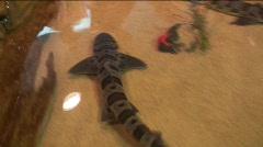 Stock Video Footage of jm756-Baby Tiger Shark