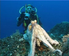 Octopus and Diver (D232e) Stock Footage