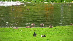 Eiders, Somateria mollissima feeding the grass in a park Stock Footage