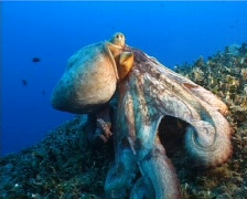 Octopus (D249) Stock Footage