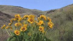 080426-Deschutes Sunflower Stock Footage