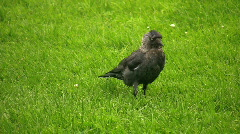 Rook, Corvus frugilegus walking on green grass Stock Footage