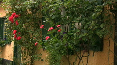 Red roses next to a house in an alley in Visby-Sweden Stock Footage