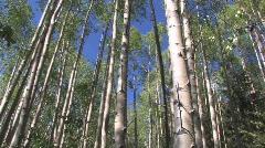 Aspen grove in Colorado Stock Footage