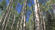 Aspen grove in Colorado Stock Footage