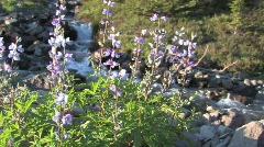 Lupine on Creek Stock Footage