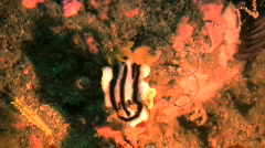 Stock Video Footage of Nudibranch Chromodoris africana on a coral reef in the Philippines
