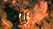 Stock Video Footage of Nudibranch (Chromodoris africana) in the Philippines